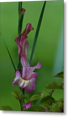 Metal Print featuring the photograph Pink Gladiolus by Ed Gleichman