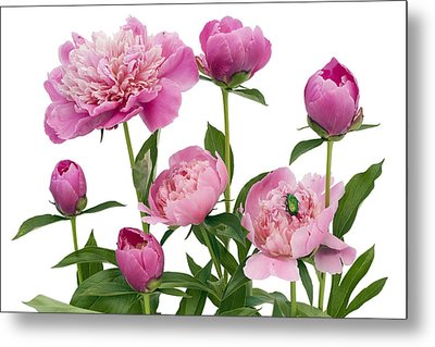 Metal Print featuring the photograph Pink June Peonies And A Green Bug by Aleksandr Volkov