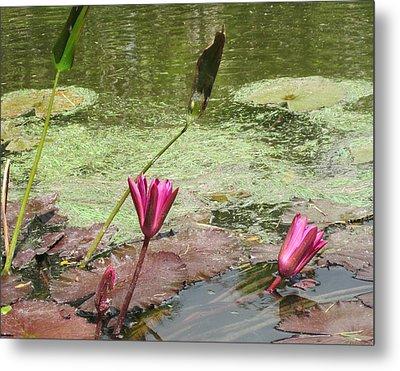 Pink Lilly Pond Metal Print by Rosie Brown
