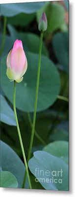 Pink Lotus Buds Metal Print by Sabrina L Ryan