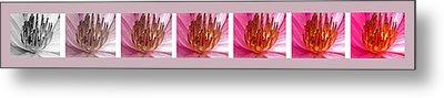 Pink Lotus Metal Print by Sumit Mehndiratta