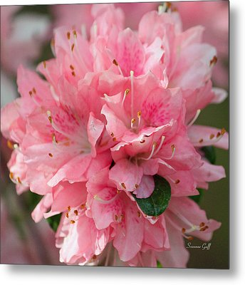 Pink On Pink Squared Metal Print by Suzanne Gaff
