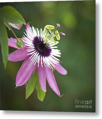 Pink Passion Flower Metal Print by Glennis Siverson