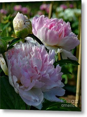 Pink Peonies-40 Metal Print by Eva Thomas