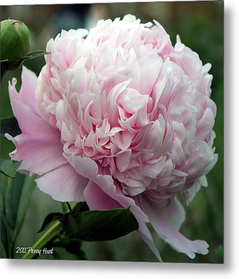 Metal Print featuring the photograph Pink Peony Perfection by Penny Hunt