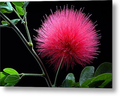 Pink Powder Puff Flower Metal Print by Dung Ma