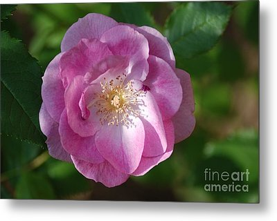 Pink Rose Close Up Metal Print by Mark McReynolds