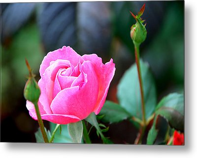 Pink Rose Metal Print by Janice Adomeit