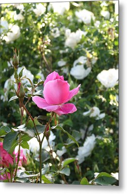 Metal Print featuring the photograph Pink Rose  by Rebecca Overton