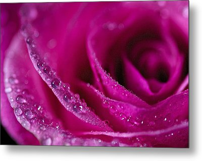 Pink Rose Metal Print by Scott Holmes