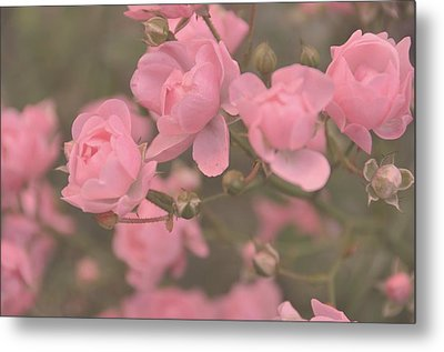 Pink Roses Metal Print by Paula Sharlea