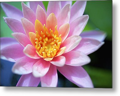 Pink Water Lily Metal Print by Kicka Witte