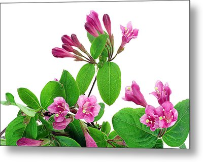 Metal Print featuring the photograph Pink Weigela Background by Aleksandr Volkov