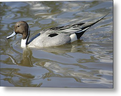 Pintail Duck Metal Print by Marilyn Wilson