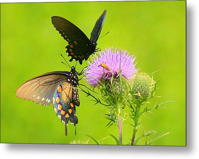 Metal Print featuring the photograph Pipevine Swallowtails In Tandem by Laurel Talabere