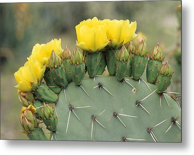 Plains Prickly Pear Blossoms Metal Print by Rich Reid