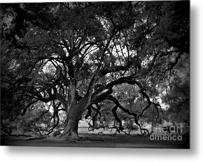 Plantation Oak Tree Metal Print by Perry Webster