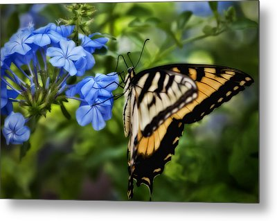 Metal Print featuring the photograph Plumbago And Swallowtail by Steven Sparks
