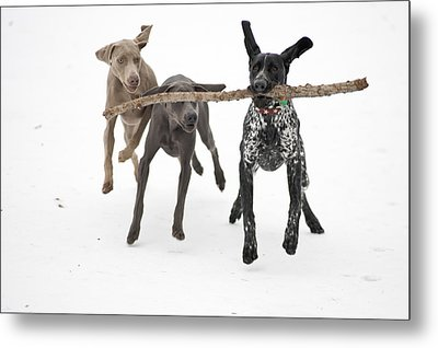 Pointers Rule, Weimaraners Drool Metal Print by Michael Fiddleman, fiddography.com