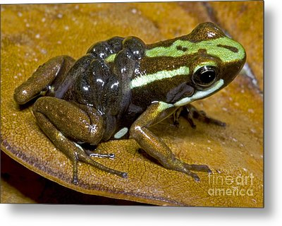Poison Frog With Tadpoles Metal Print by Dante Fenolio