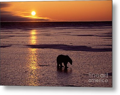 Polar Bear At Sunset Metal Print by Francois Gohier and Photo Researchers