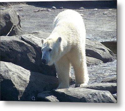 Polar Bear Looks Metal Print by Geri Chamberlin