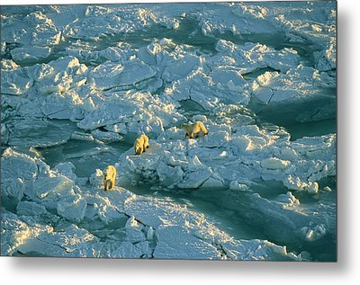 Polar Bear Mother And Cubs Walking Metal Print by Norbert Rosing