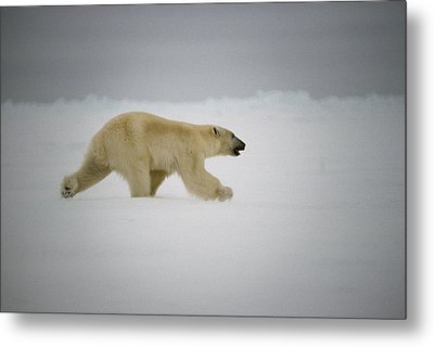 Polar Bear Runs Across Frozen Baffin Metal Print