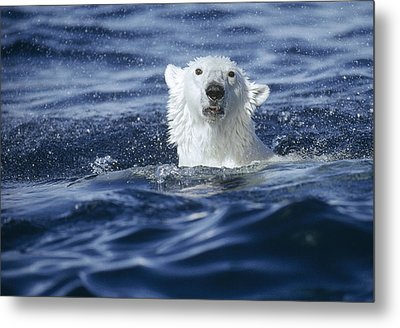 Polar Bear Swimming Off  Baffin Island Metal Print