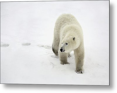 Polar Bear Walking Metal Print