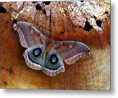 Polyphemus Moth Metal Print by Deborah Johnson