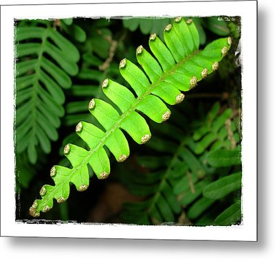 Metal Print featuring the photograph Polypody by Judi Bagwell