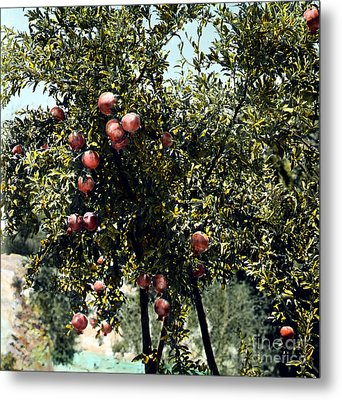 Pomegranate Tree Metal Print by Granger