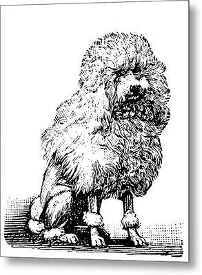 Poodle Metal Print by Granger