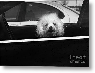 Poodle In A Car Metal Print by Susan Isakson