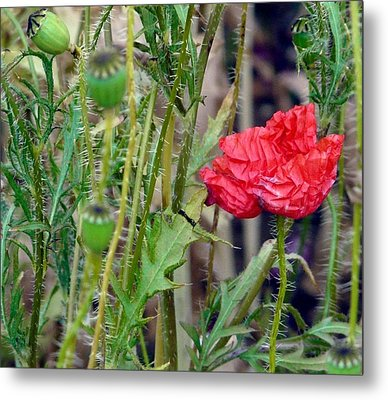 Popped Poppy Metal Print