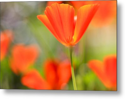 Poppies In The Wind Metal Print by Heidi Smith
