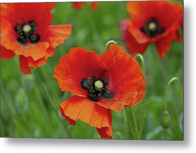 Poppies Metal Print by Photo by Judepics