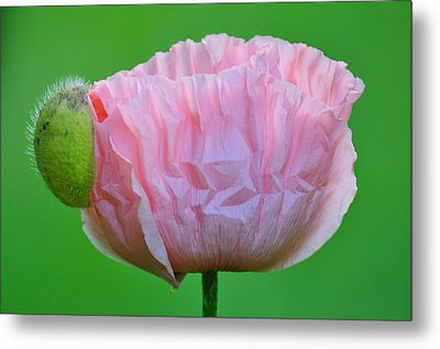 Metal Print featuring the photograph Poppy Emerges by Ronda Broatch