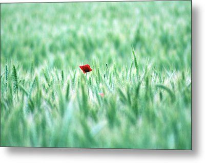 Poppy In Wheat Field Metal Print by By Julie Mcinnes