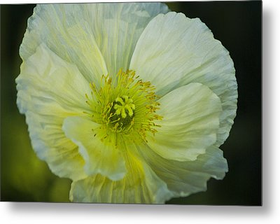 Poppy Night Out Metal Print