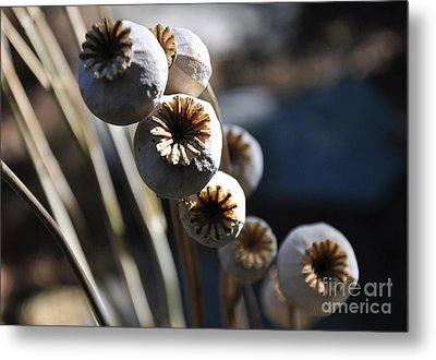 Poppy Seed Pods Metal Print by Tanya  Searcy