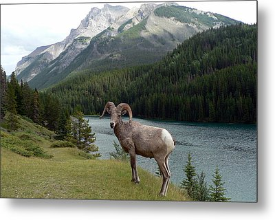 Portrait Of A Bighorn Sheep At Lake Minnewanka  Metal Print