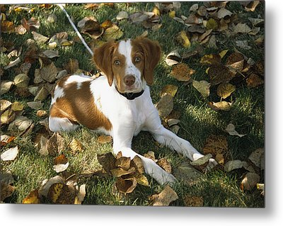 Portrait Of A Brittany Spaniel Puppy Metal Print by Paul Damien