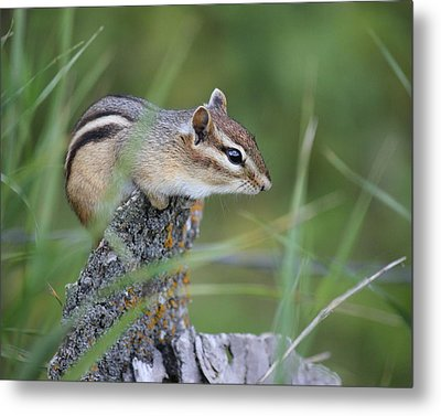 Metal Print featuring the photograph Portrait Of A Chipmunk by Penny Meyers