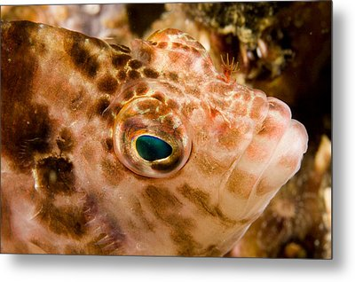 Portrait Of A Hawkfish Cirrhitichthys Metal Print by Tim Laman