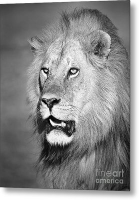 Portrait Of A Lion Metal Print by Richard Garvey-Williams