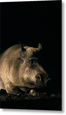 Portrait Of A Wild Boar Metal Print by Ulrich Kunst And Bettina Scheidulin