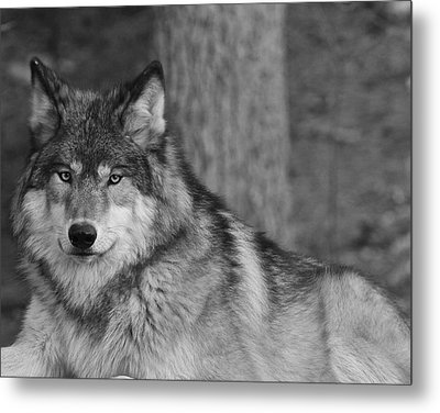 Portrait Of A Wolf Metal Print by Kate Purdy