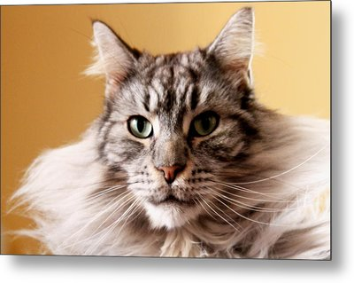 Portrait Of Cat Metal Print by Mangini Photography
